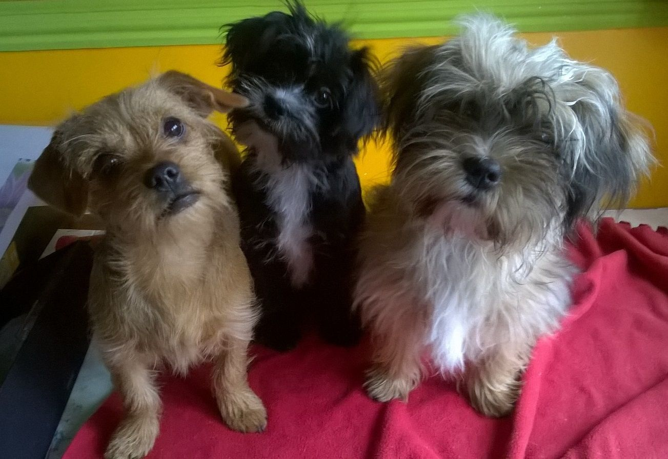 Two Shorkies And A Dorkie Daisy Black White Delilah Fluffy