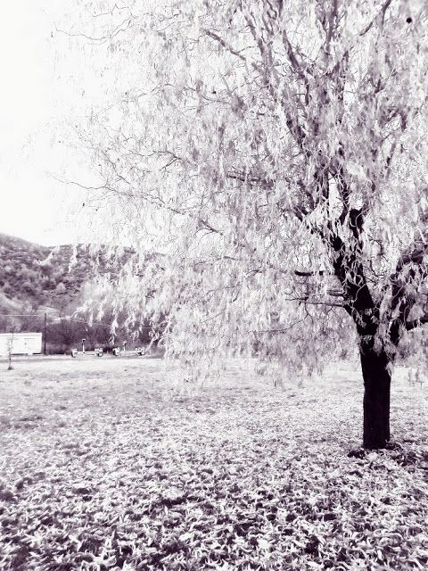 willow tree by jwp