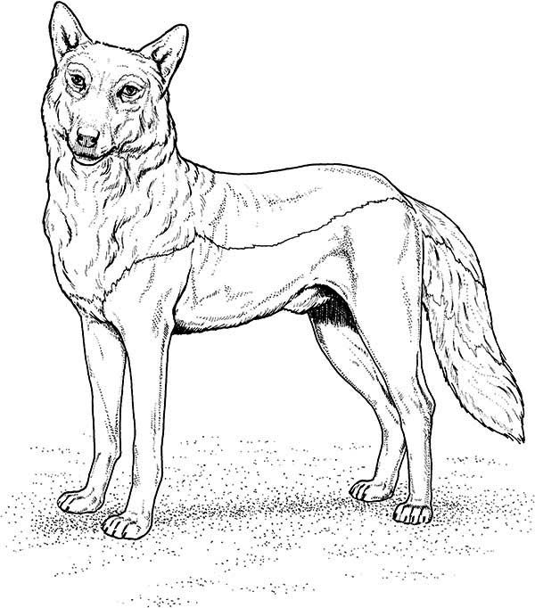 Wolf Gray Wolf Coloring Page Cute Wolf Drawings Wolf Colors