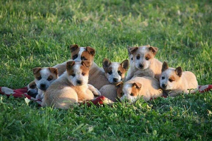 australian working dogs - Google Search