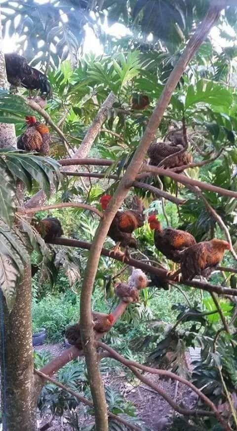 #Jaraguenses y sus gallinas encaramadas para dormir :D