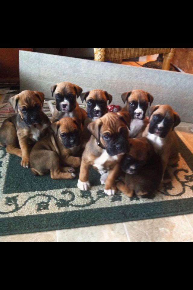 My Boxer Pups Litter 1 Boxerpups Boxer Puppies Boxer Dogs Puppy Litter