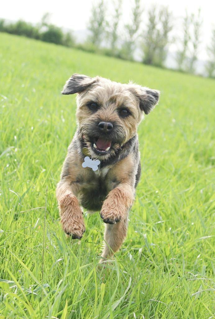 Ted Pett Dat Lexi On Border Terrier Terrier Brown Dog