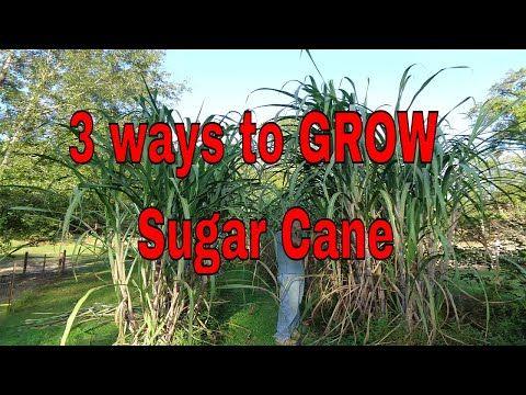Details about  /Sugar Cane Organic 10 sticks Sugar Green Yellow Tropical Sugar Cane