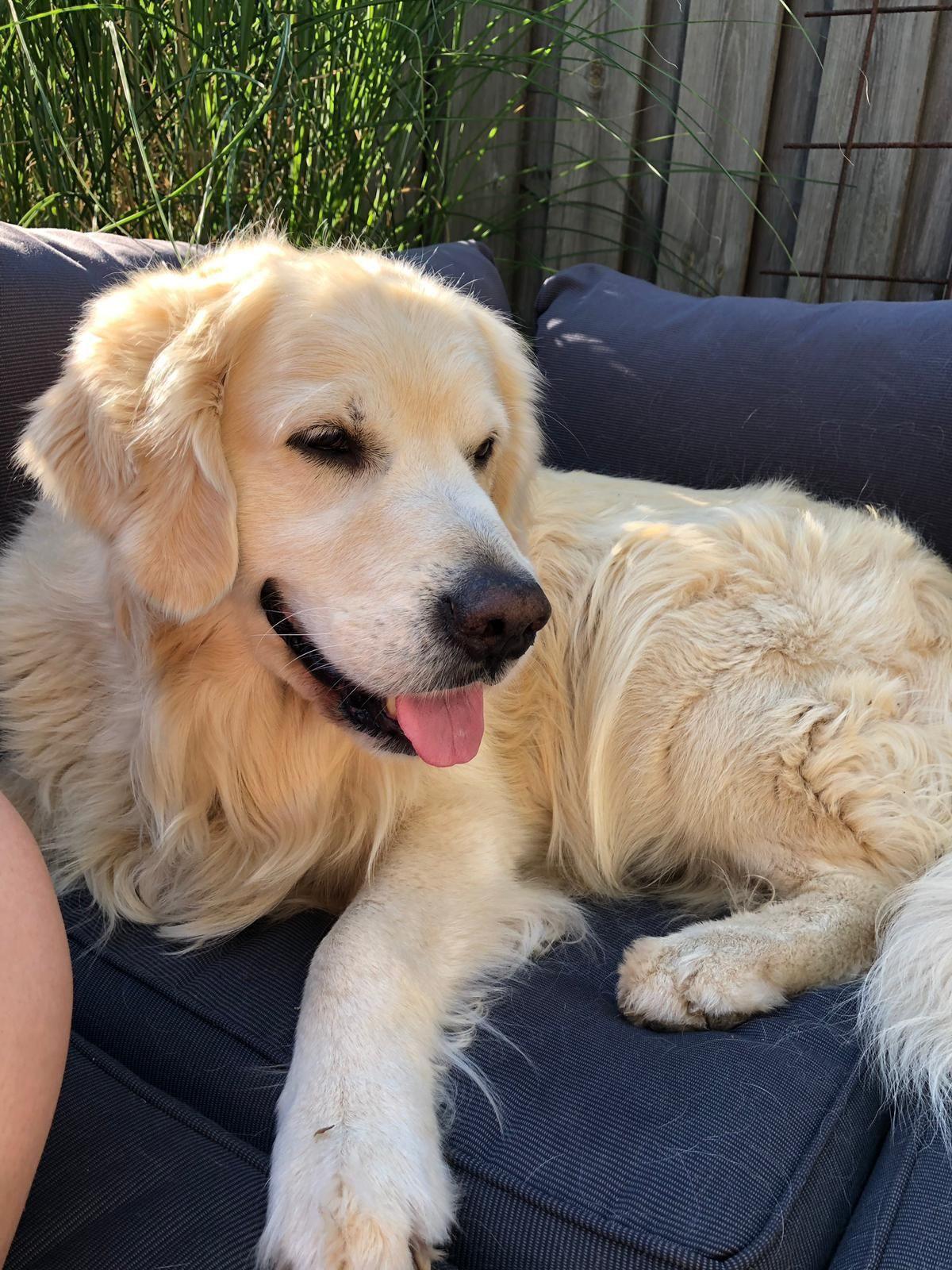 My Beautiful Boy Finn Goldenretriever Golden Retriever Dogs Dogs Golden Retriever