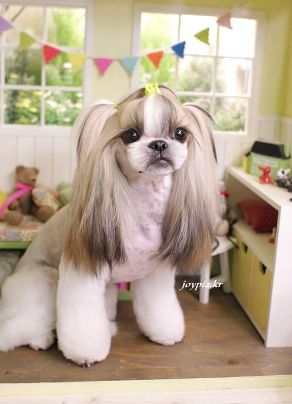 Chloe If I Let Her Hair Grow Out In Ears Shih Tzu Grooming