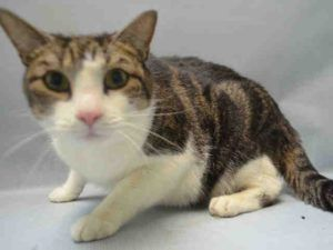 To Be Destroyed 09 28 16 Front Declawed Kitty Martin Has A Cold And Needs A Rescue Angel Tonight Martin S Info Is A Bit Un Cat Adoption Foster Cat Cats
