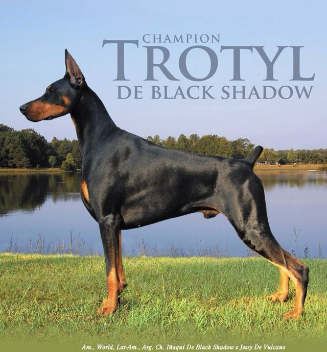 Trotyl De Black Shadow An Extremely Influential Sire In Today S