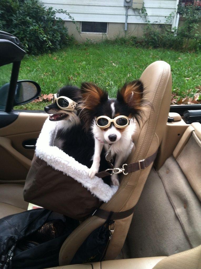 Chihuahua Puppies Doggles Car Ride Chihuahua Love