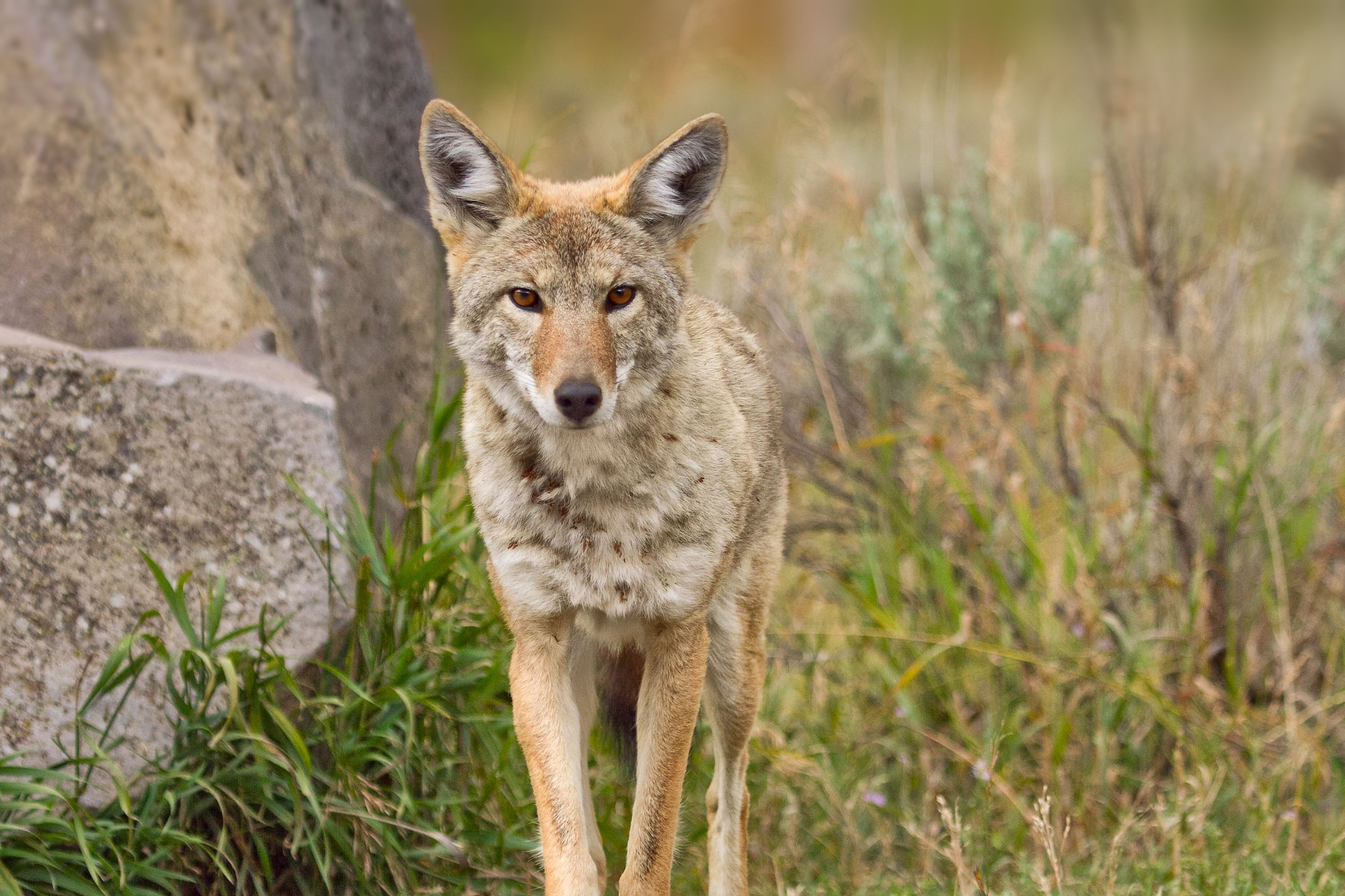 baby coyotes picture - HD3000×1999