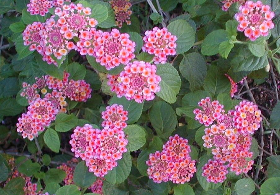 Lantana Hanging Basket Simple Lantana Plant Pictures  Chapel Hill Yellow' Lantana  God Creates Design Decoration