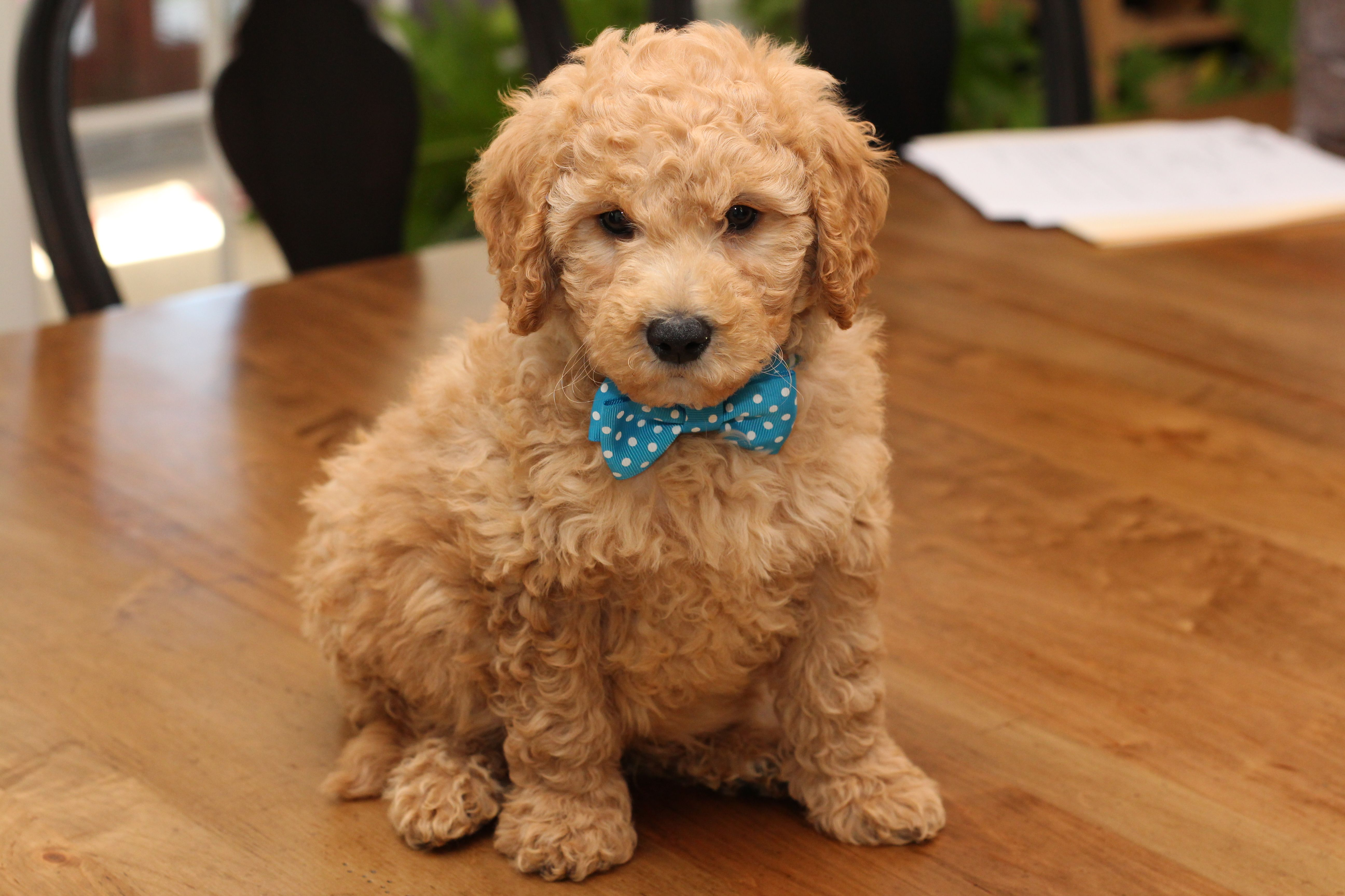 River Valley Goldendoodles Puppy Breeder In Ny Near Pa Near Nyc Goldendoodle Puppies Mini Goldendoodle Puppies