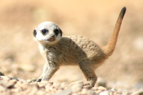 Baby Meerkat On The Hunt For Fun ミーアキャット カバ