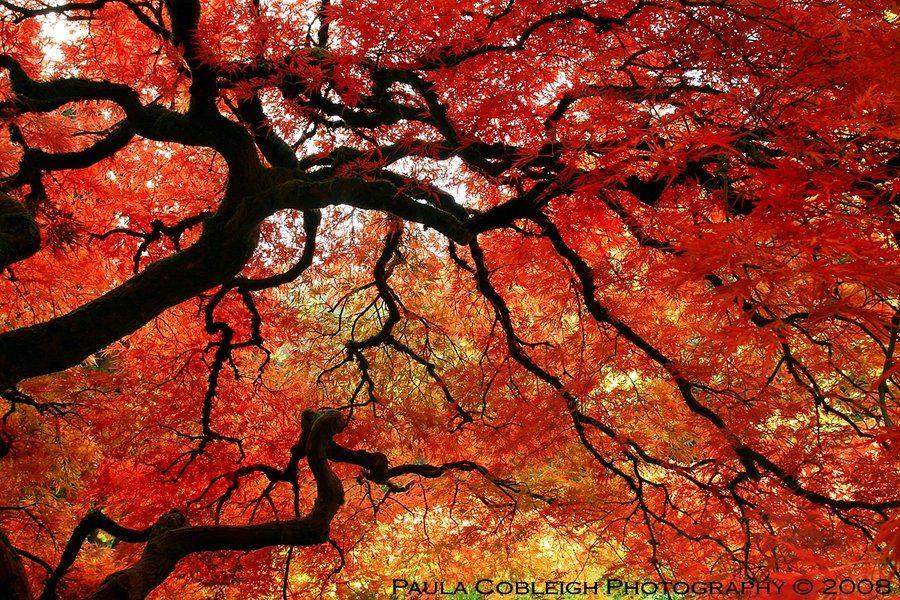 http://la-vita-a-bella.deviantart.com/art/Japanese-Maple-179885965    Japanese Mapleby *La-Vita-a-Bella