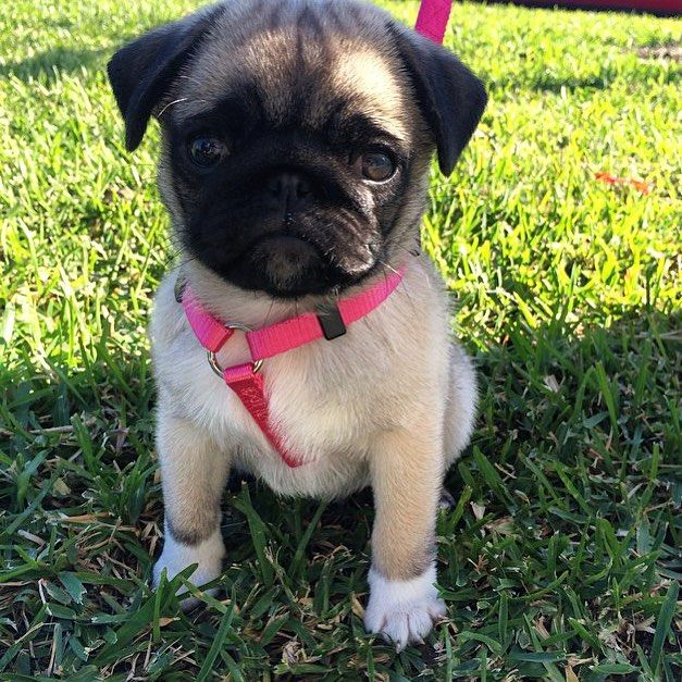 The Pug With White Socks Look At Her Paws Thank You