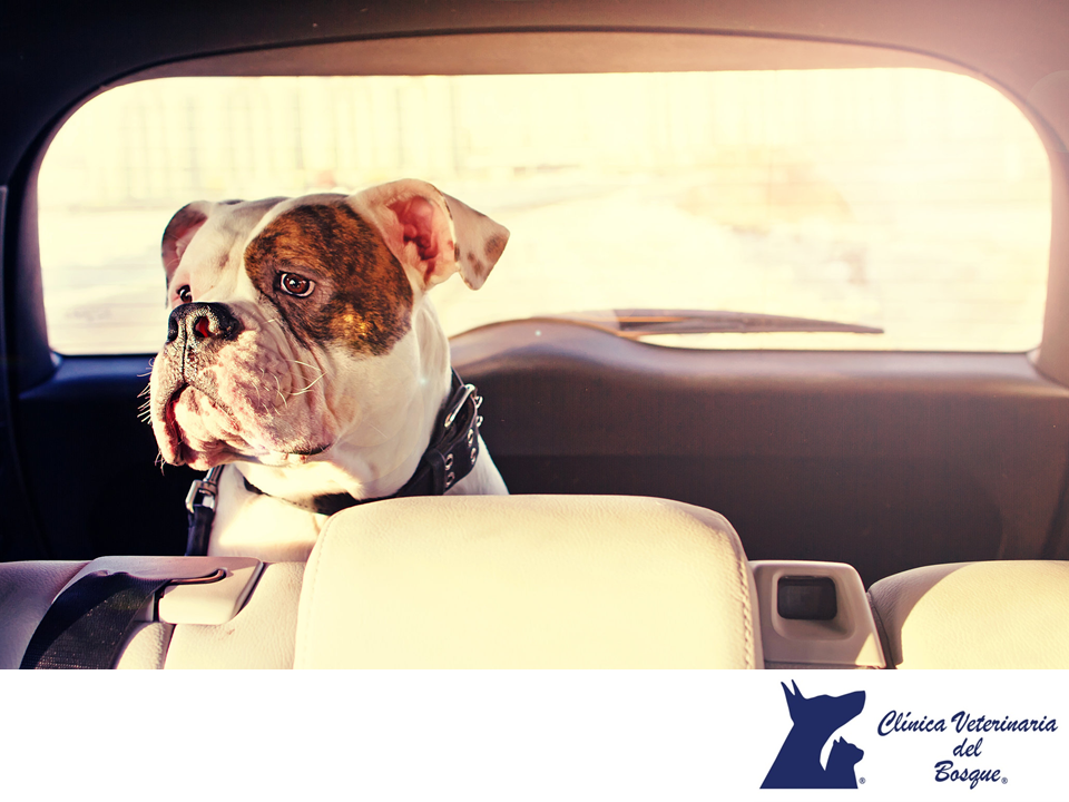 CLÍNICA VETERINARIA DEL BOSQUE ¿Cómo viajar con mi perro en coche? Tu mascota también necesita llevar equipaje, en el que debes incluir su comida, su cama y sus juguetes favoritos para hacerlo sentir en casa y cómodo a donde vaya. Además, debes trasladarlo en una jaula transportadora adecuada a su tamaño y peso para su mayor comodidad y para mantenerlo protegido en caso de frenar repentinamente o tener algún accidente, también existen cinturones de seguridad diseñados para ellos…
