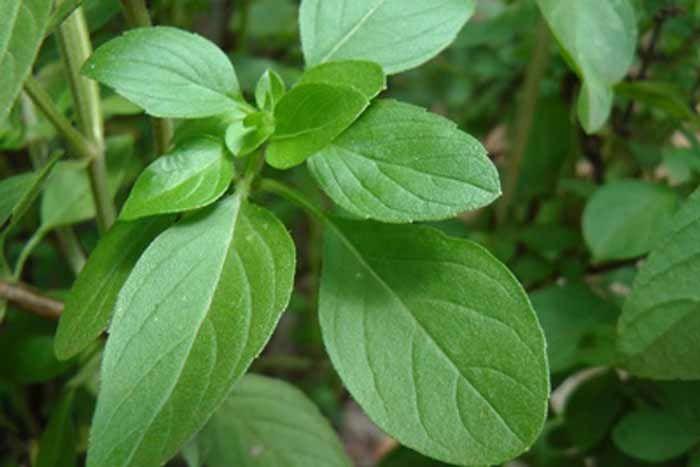 Como todas as ervas aromáticas, o manjericão contém vários antioxidantes que lutam contra a velhice e ajudam a proteger contra alguns cancros e doenças car