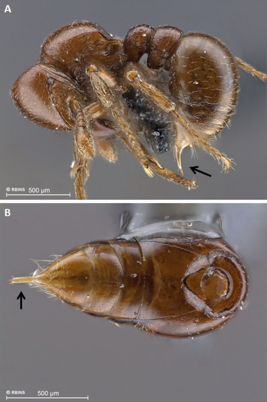 ant ventral - Google Search | Ant Anatomy | Pinterest | Ant