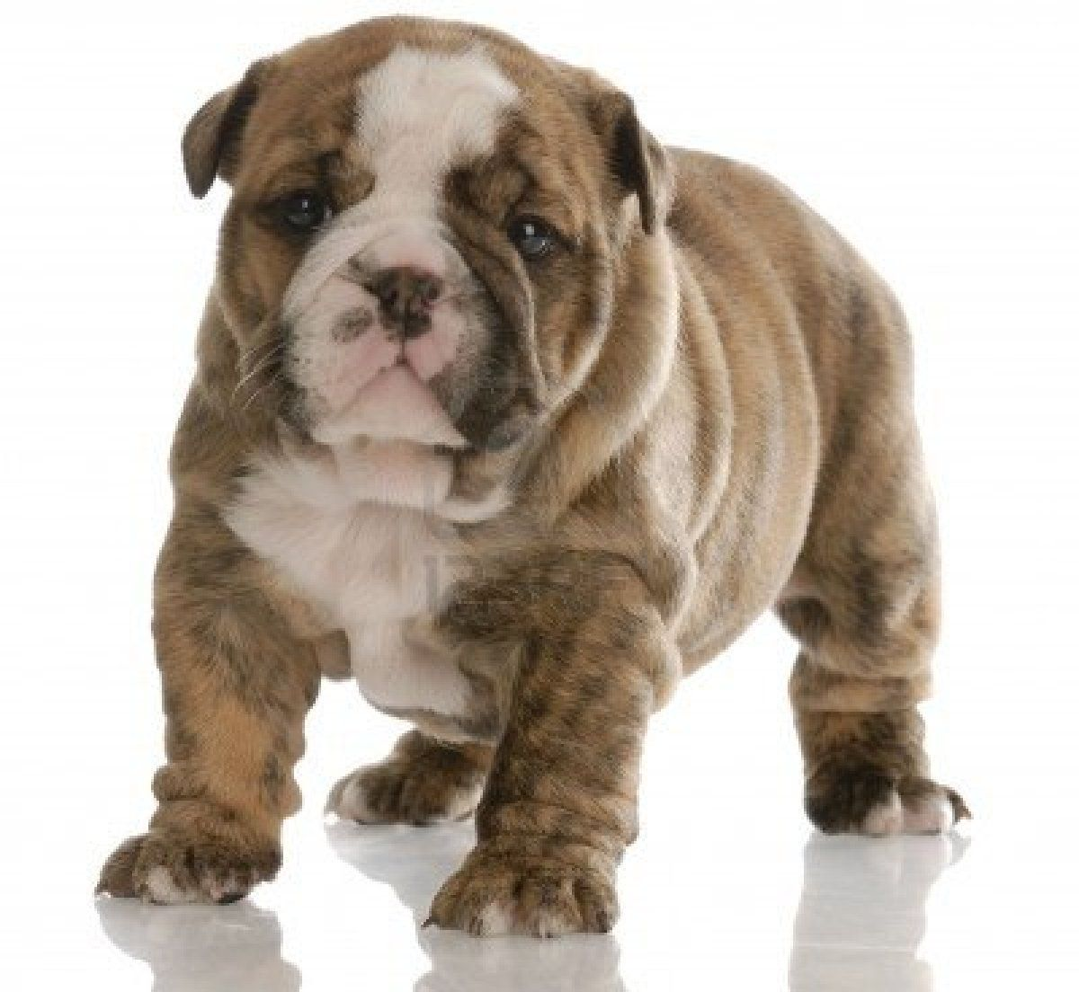 Stock Photo Bulldog Puppies Brindle English Bulldog English