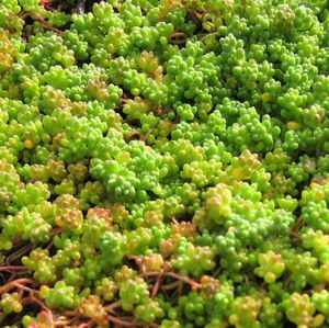 See Our Large Selection Of Sedums For Your Landscape Or