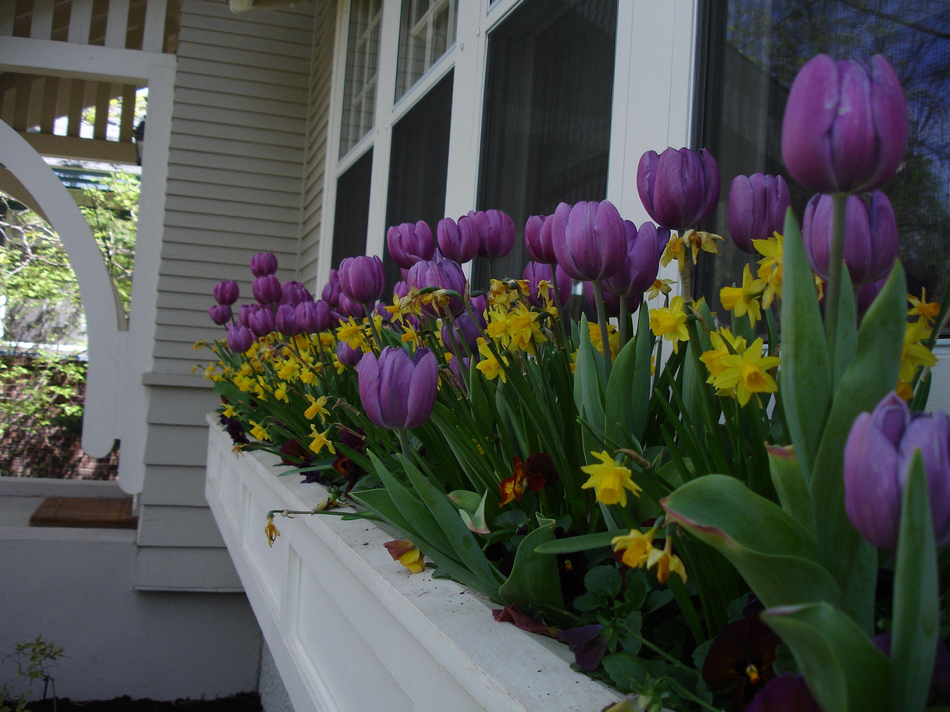 Daffodils in window box