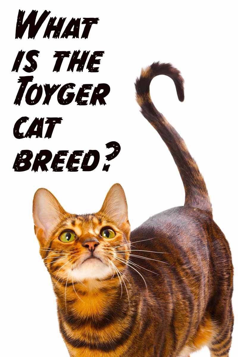 Toyger The Tiny Tiger Who's All Domestic Cat Toyger