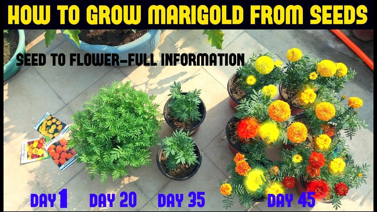 9 Easy Facts About How Many Marigold Seeds Per Hole Described