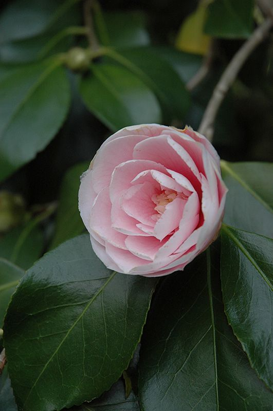 Wilson Camellia (Camellia Japonica U0027C. Wilsonu0027) In Raleigh Wake Forest  Morrisville Durham Cary North Carolina NC At Atlantic Avenue Orchid U0026 Garden  ...