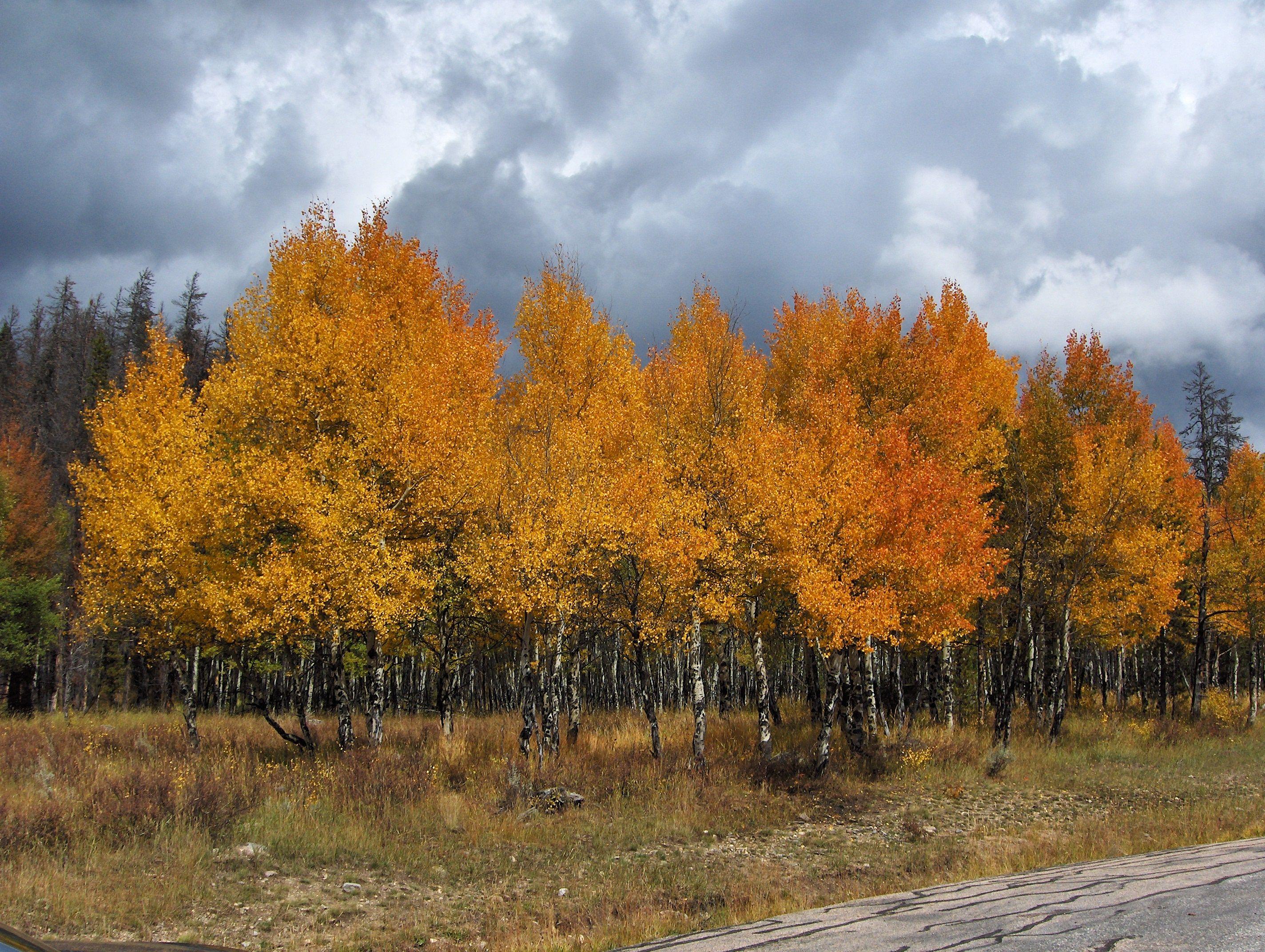 Autumn Aspens, Estes Park, CO, Sept. '08