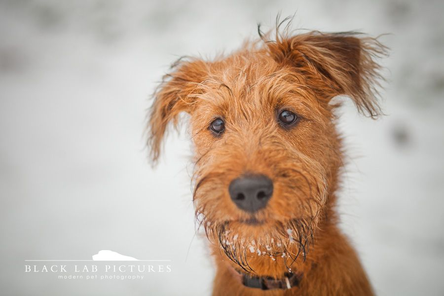 Irish Terrier by Black Lab Pictures