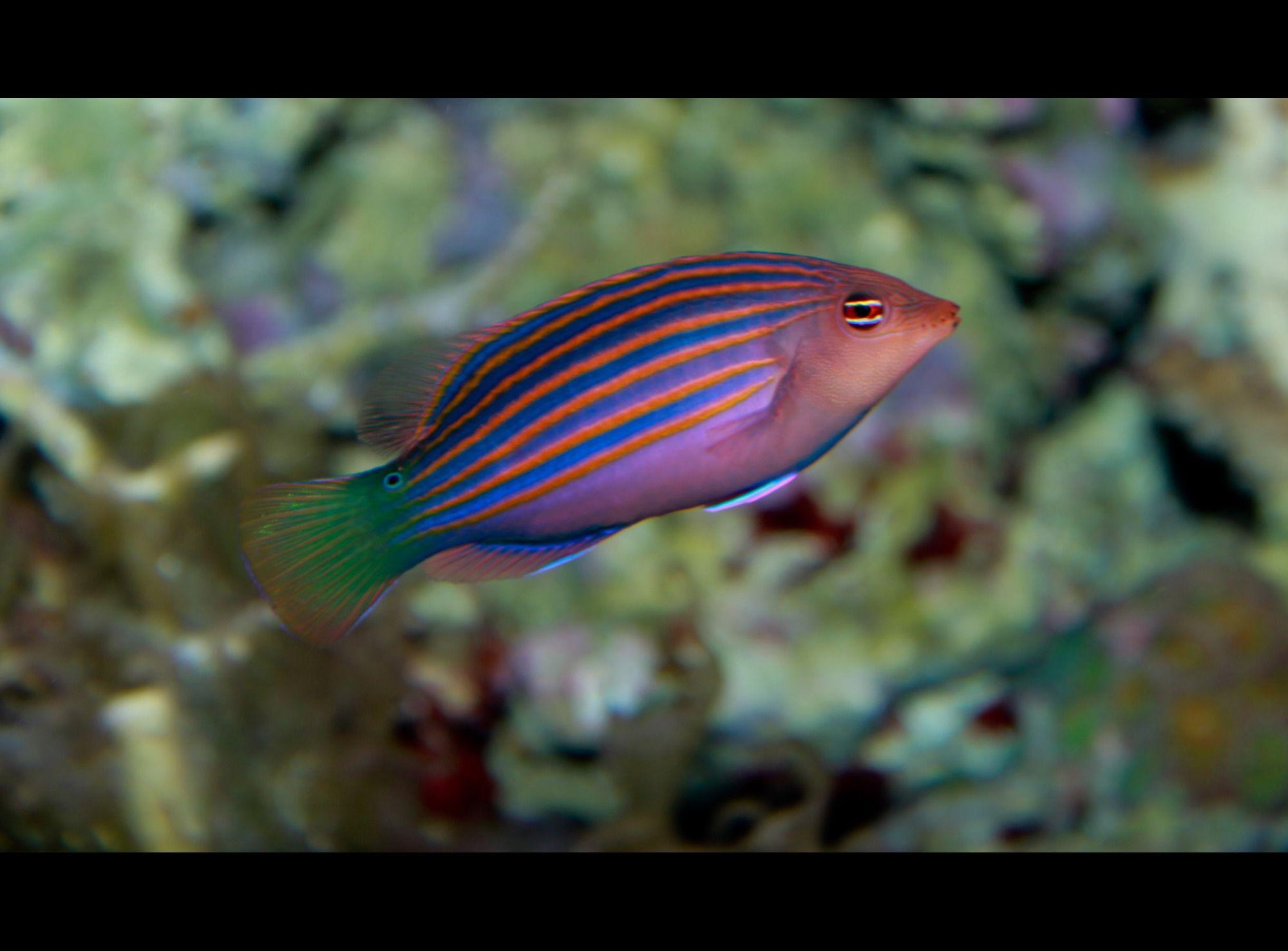 Six Line Wrasse Pseudocheilinus Hexataenia Reef Safe Fish Aquarium Fish Saltwater Aquarium Fish