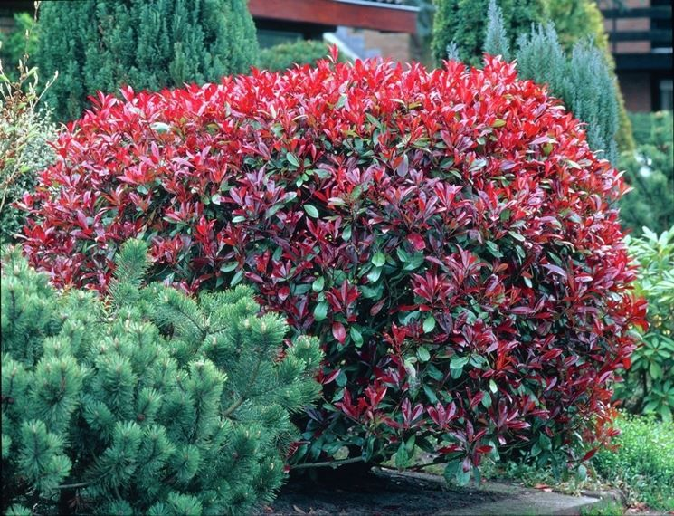 Fotinia Arbuste Arbres Et Arbustes Jardin D Ombre
