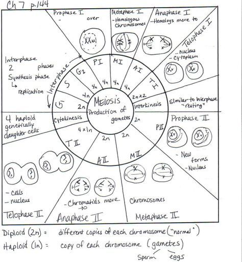 Comparing Mitosis And Meiosis Worksheet Name Instructions Doc ...