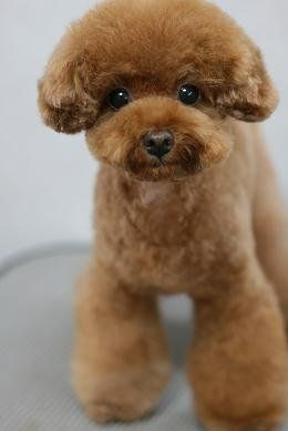 Looking For Suggestions Poodle Forum Standard Poodle Toy