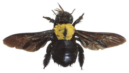 How to Get Rid of Mortar Bees   Carpenter bee, Boring bees ...