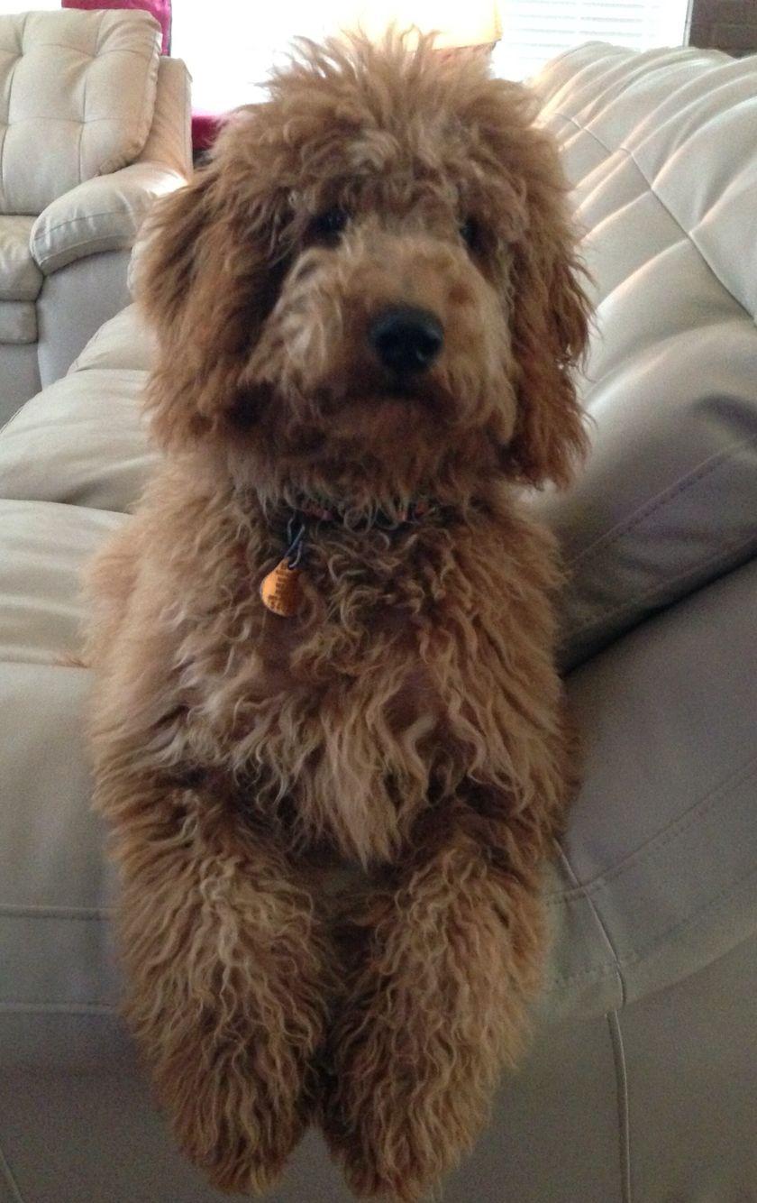 6 Month Old Australian Labradoodle Hunde