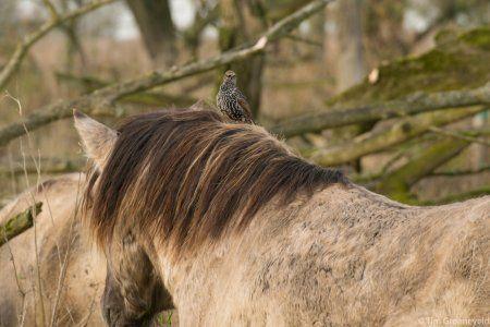 Natuur, Konikpaarden op Oostvaardersplassen
