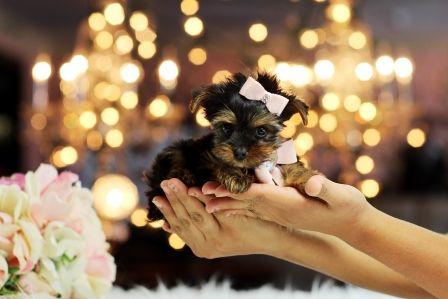 Puppy Images! www.teacuppuppiesstore.com 954-353-7864