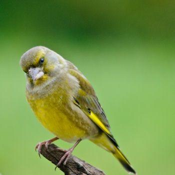 Reconnaitre les oiseaux de nos jardins... | Oiseaux des ...