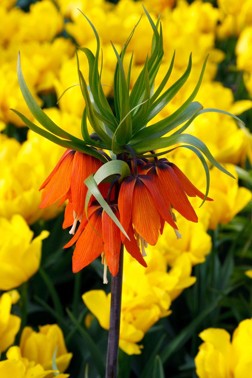 Orange Crown Imperial Flower Free Stock Photo Orange