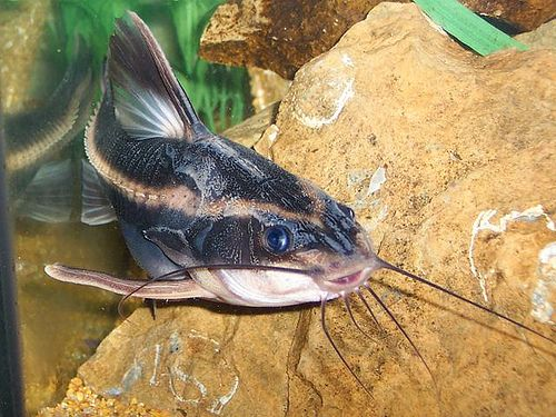 Love Love Love These Fish Raphael Catfish Striped Pet Fish Cool Fish Freshwater Catfish