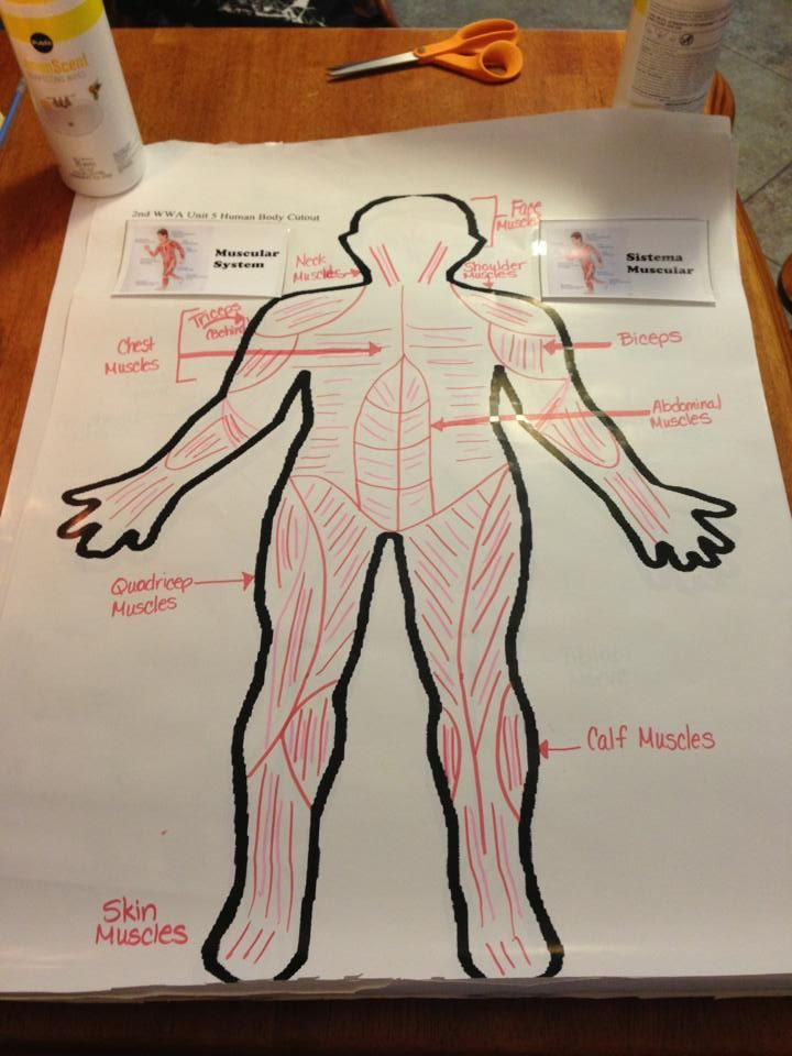 Muscular System Jj Anchor Charts Pinterest Muscular System