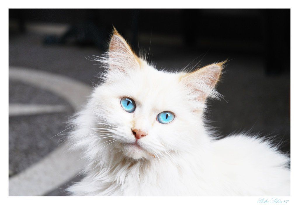 Persian Cat With Blue Eyes Wallpaper Fluffy White Cat Blue Eyes