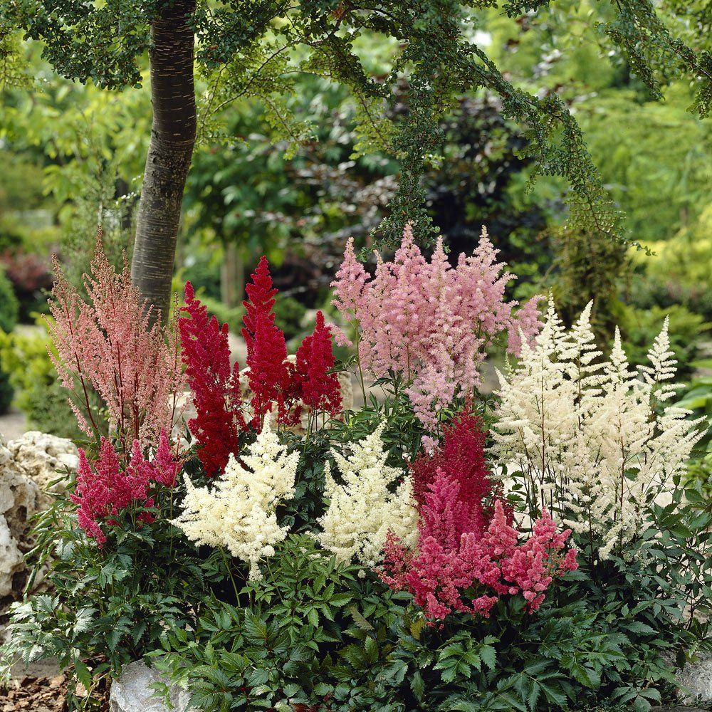 Astilbe Collection Hardy Perennials Perennial Plants Bulb Flowers