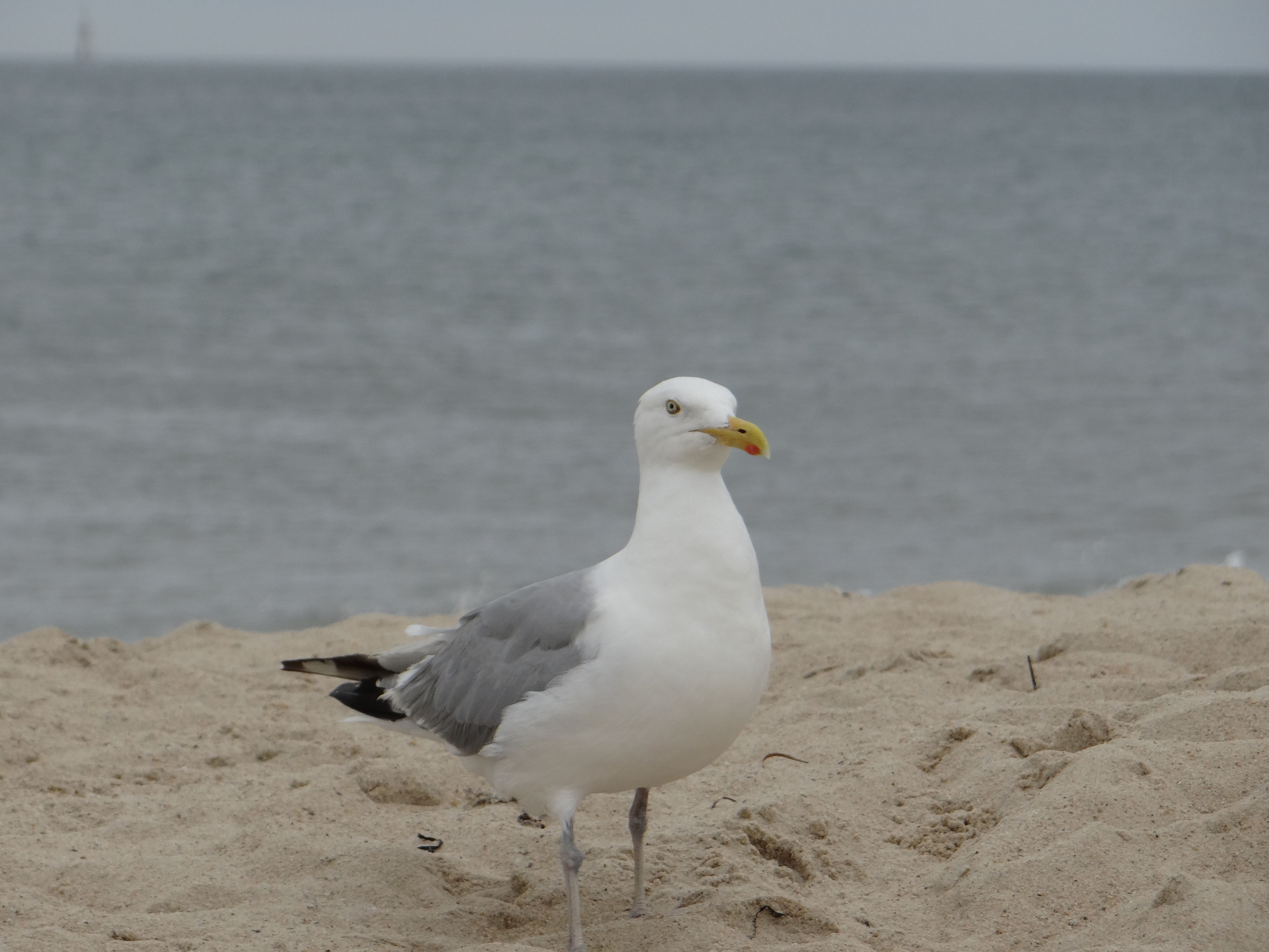 Seagull On South Beach Mv