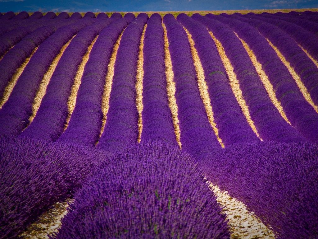 Young Living Lavender Fields