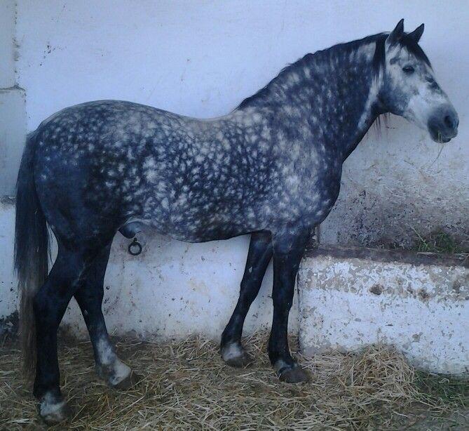 cheval arabe barbe maroc