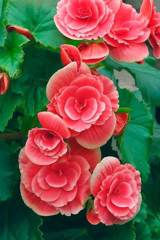 Begonia Double Beautiful Flowers Flower Seeds Amazing Flowers
