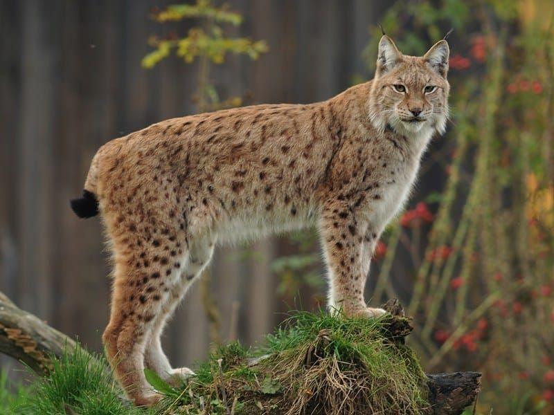 Euraziatische Lynx (zeldzaam)