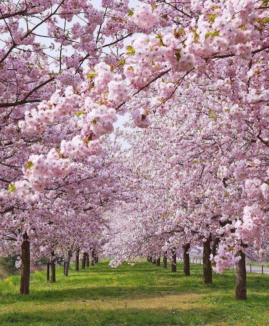 Currently Happening All Over New England Newenglandhomeandgarden Newengland Newenglandflair Newenglan Cherry Blossom Tree Cherry Blossom Cherry Tree